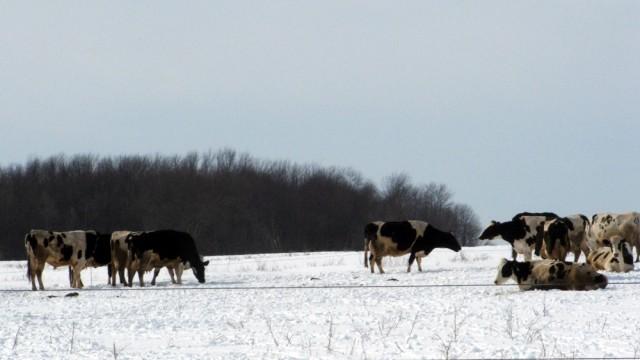 Kyr i vinterlandskap. Illustrasjonsfoto: Aunt Owwee