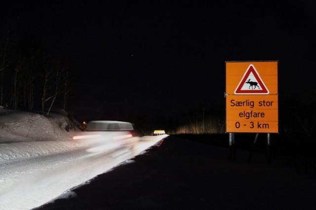 Bilførere bør være ekstra oppmerksom på elgfaren for tiden. Illustrasjonsfoto: Robin Lund, IMGS.no