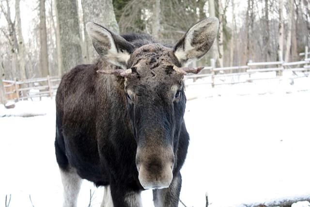Ikke jag elgen selv om den dukker opp i nabolaget oppfordres det fra Midtre Hålogaland politidistrikt. Illustrasjonsfoto: Jaanus Silla