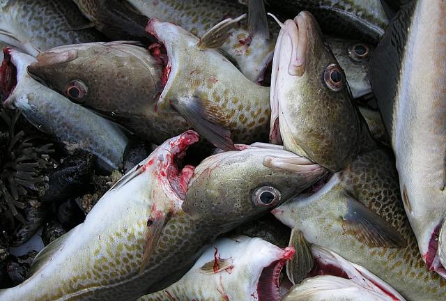 For mye fisk. Illustrasjonsfoto: Erik Juriks